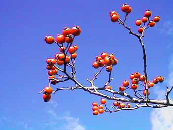 Hawthorn The Herbal Alternative To Weight Losing
